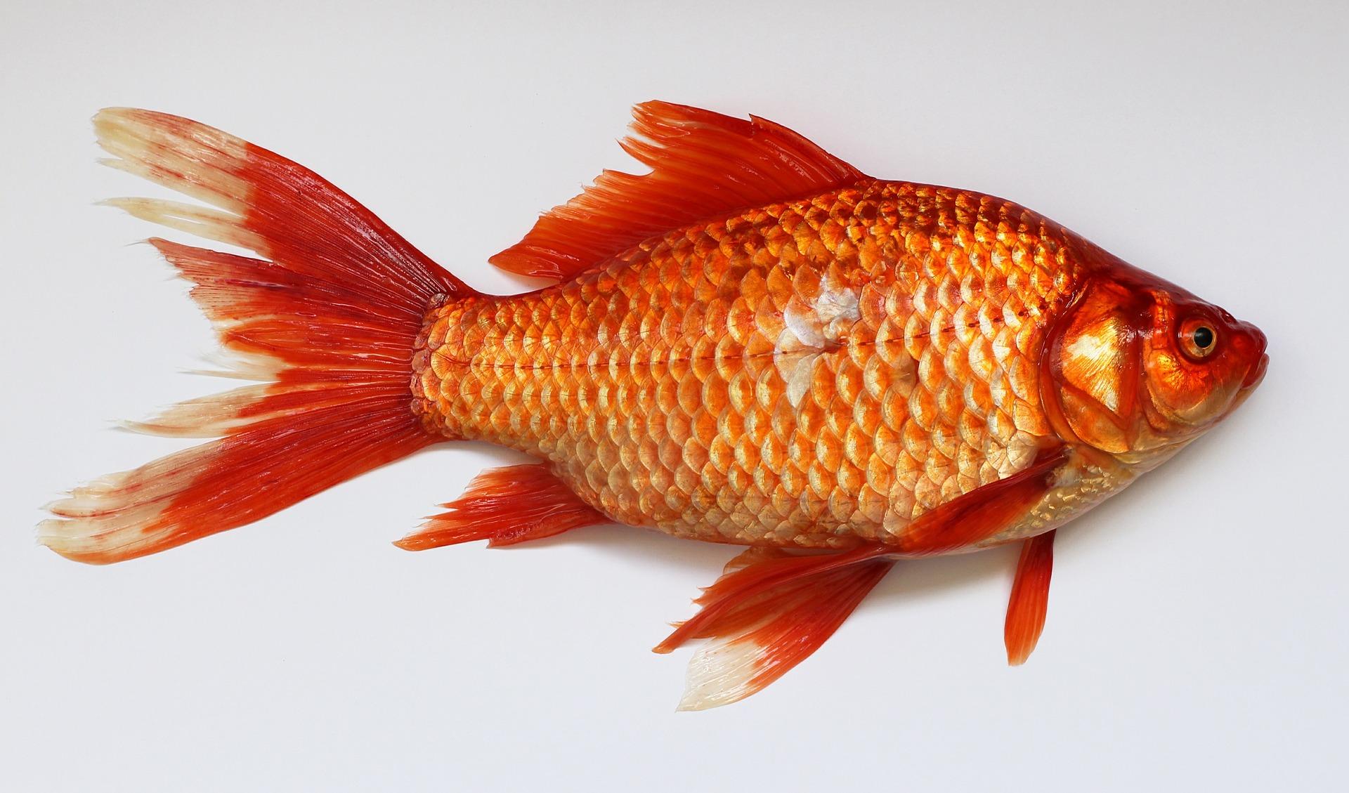 pesce_rosso-id20877
